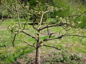 Обрезка плодовых фруктовых деревьев весной