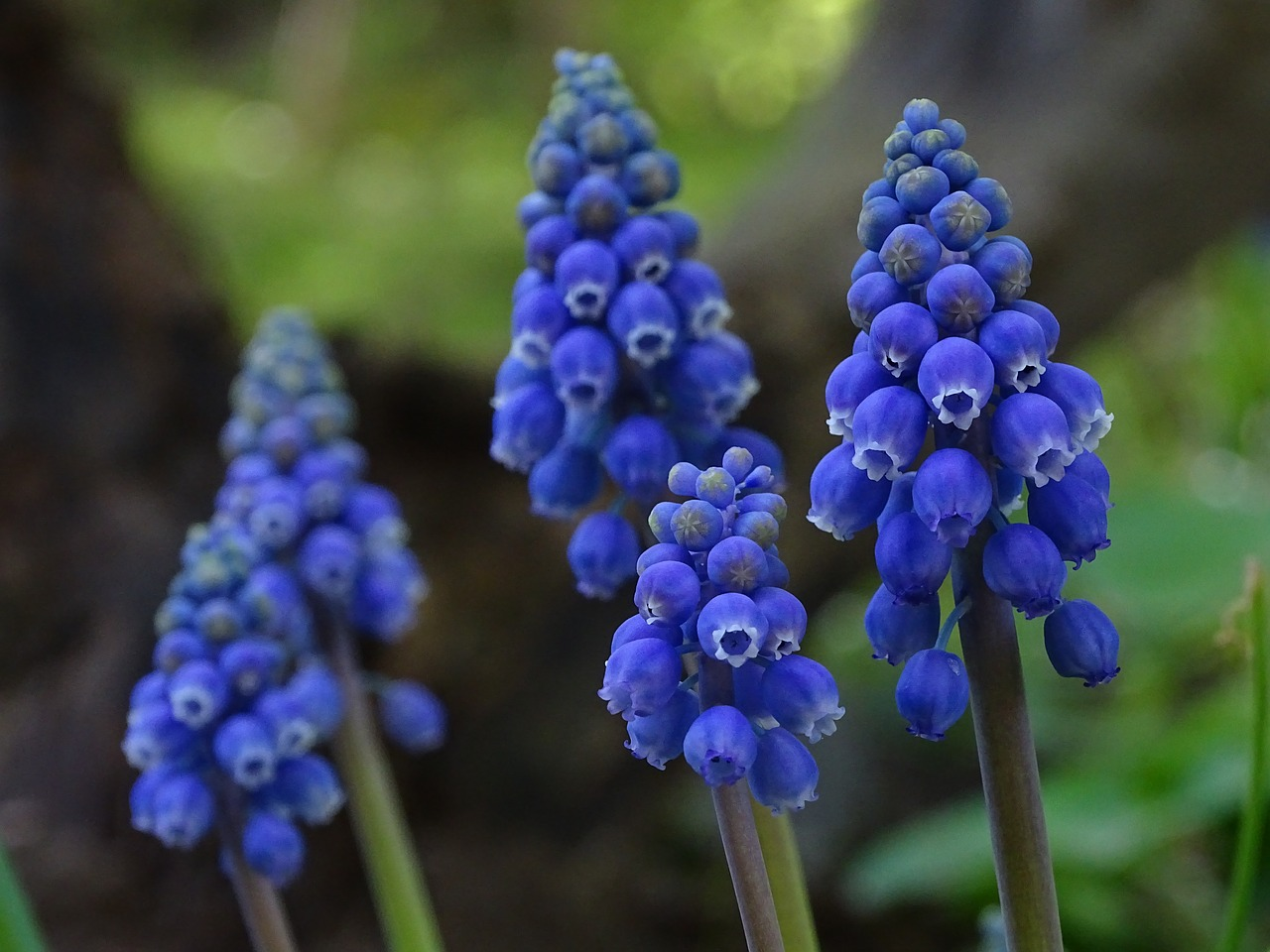 цветок синий мышиный фото такого ключа
