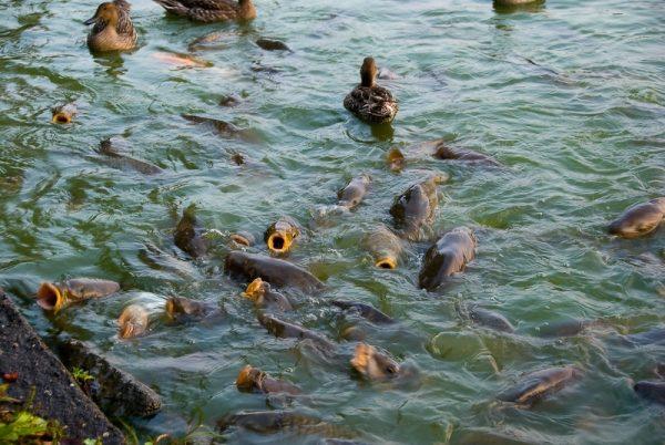 Если карпы получают сбалансированное и полноценное питание, то за 9 месяцев вполне реально вырастить полукилограммовую рыбку
