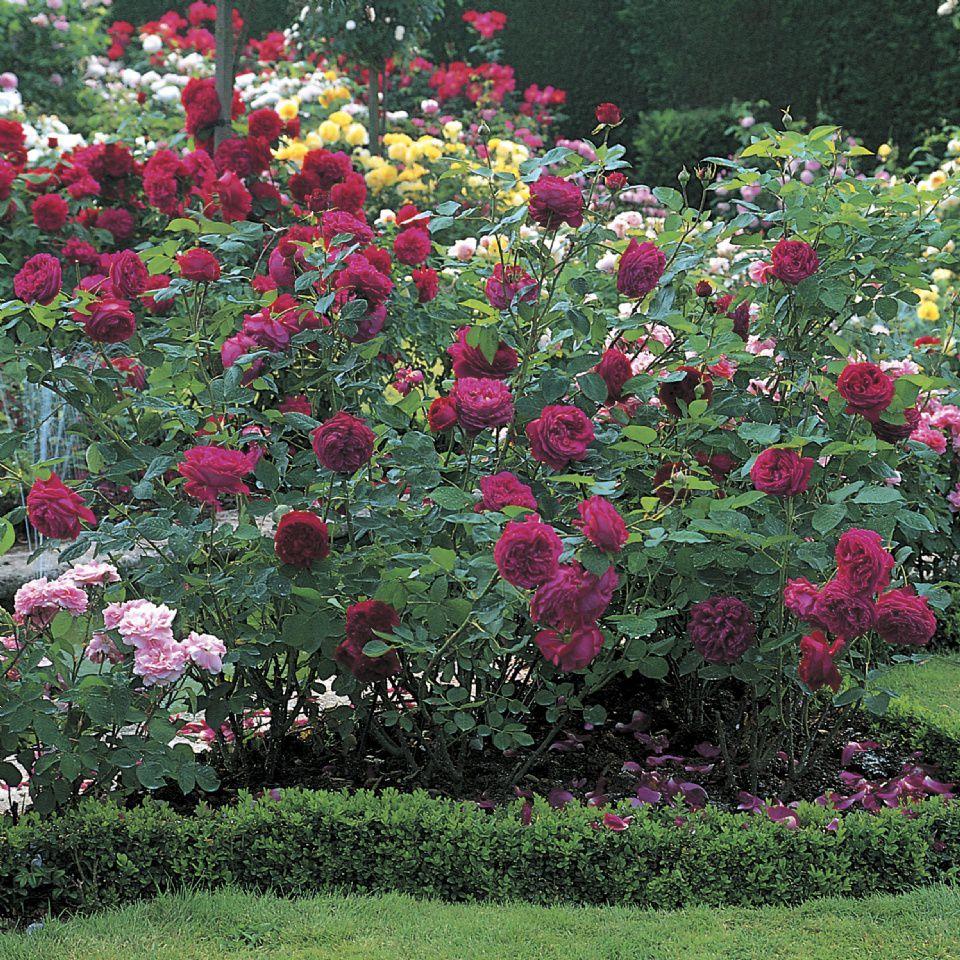 Роза английская парковая уход