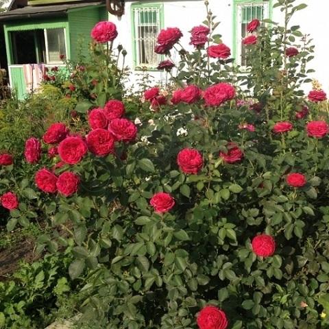 Роза английская парковая