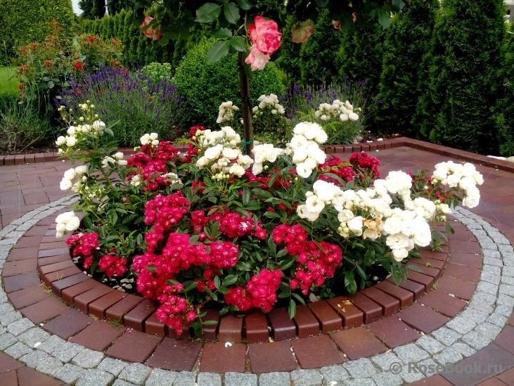 роза альберих описание фото