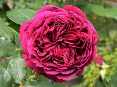 Роза фальстафф фото и описание
