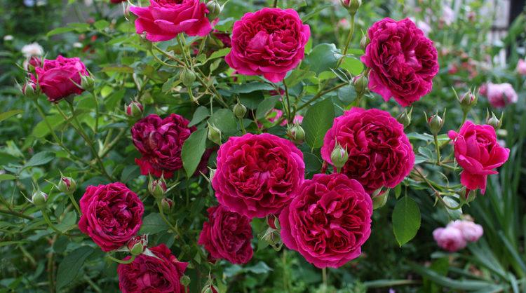 роза фальстаф фото