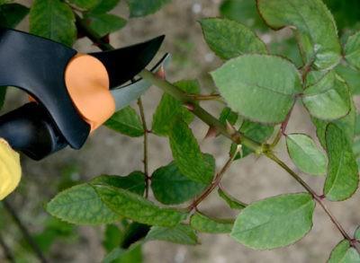 Роза английская парковая посадка и уход